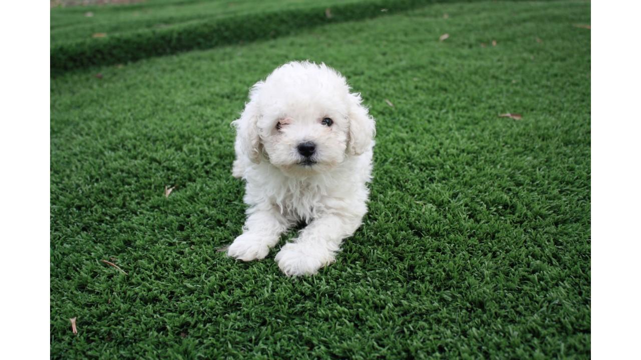 Allevamento e vendita cane barbone toy a bari e matera for Carattere barboncino