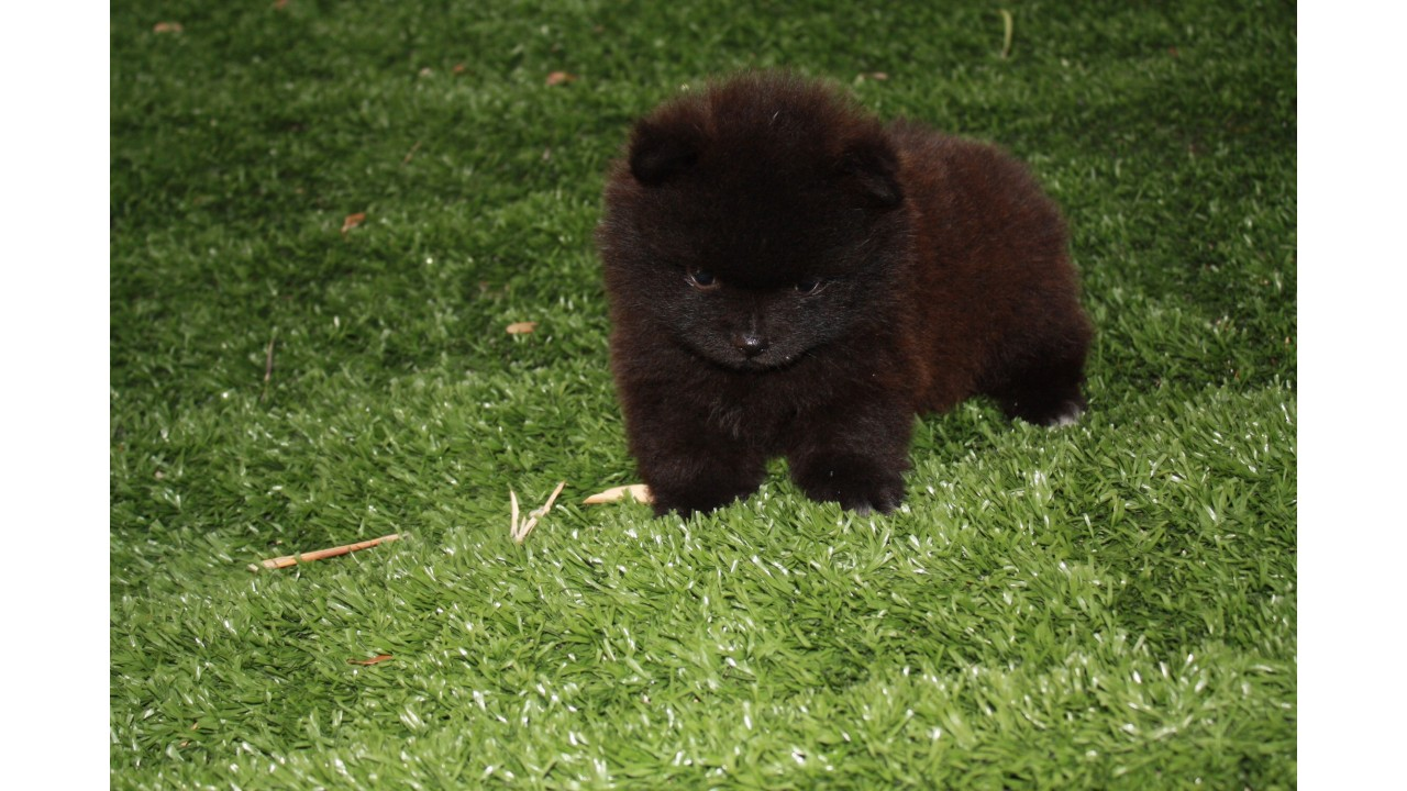 Allevamento e vendita cane spitz nano nero pomerania a for Cane volpino nano