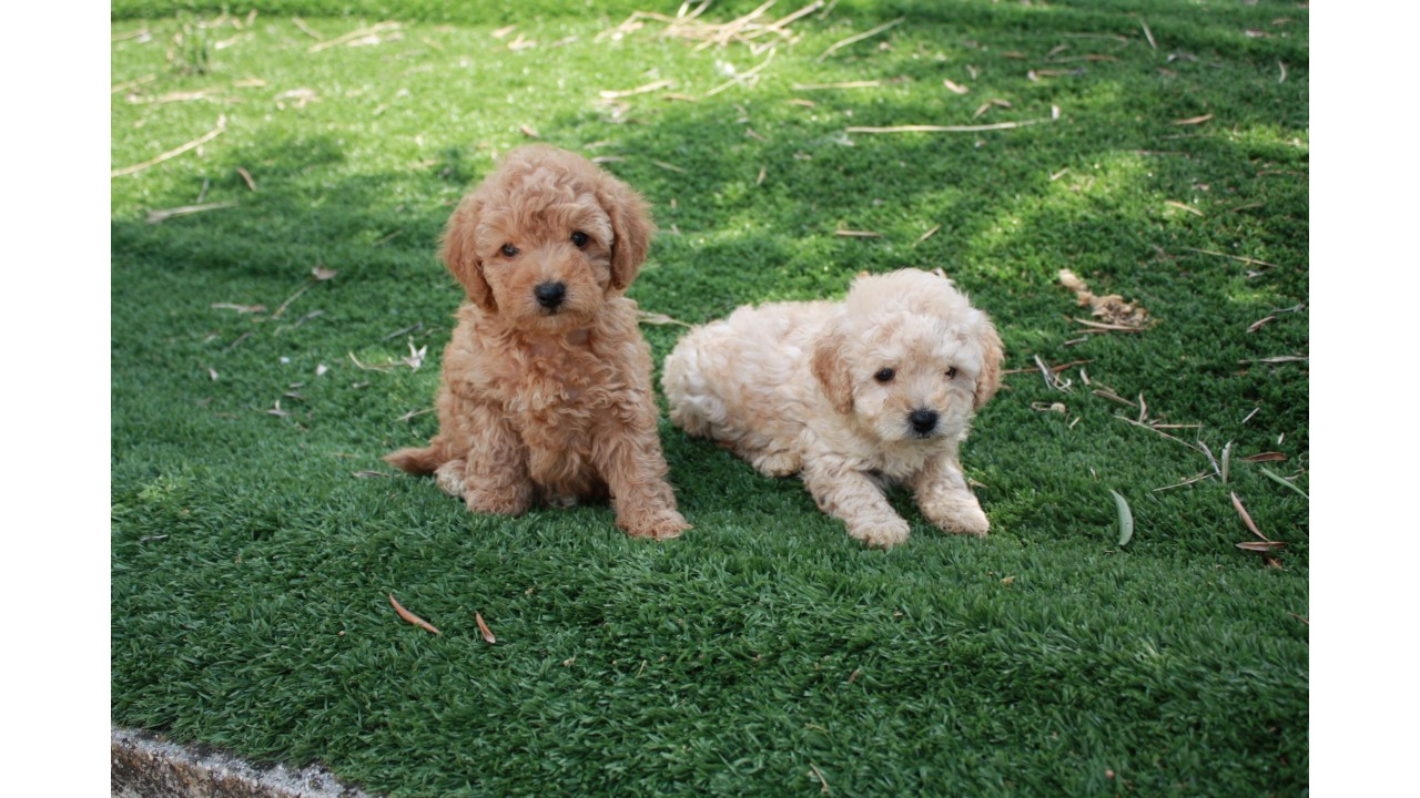 Allevamento e vendita cane barbone nano a bari e matera for Cane barboncino toy