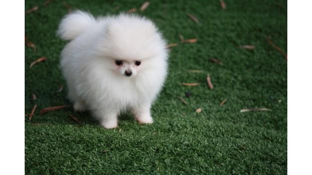 Allevamento e vendita cane spitz nano bianco pomerania a for Cane volpino nano