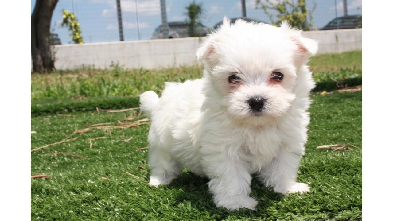 Cerco Cuccioli Di Maltese Toy In Regalo.Allevamento E Vendita Cane Maltese A Bari E Matera