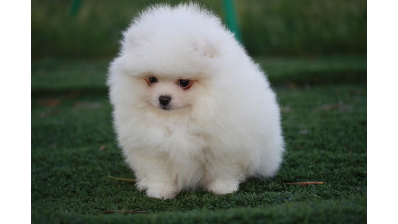 Allevamento e vendita cane spitz nano bianco pomerania a for Cani pomerania